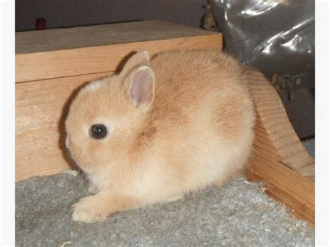 baby orange netherland dwarf buck bunny rabbit west shore