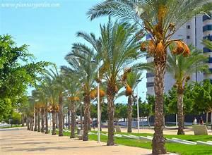 La Palma Jardin : palmeras caracter sticas generales plantas y jard n ~ A.2002-acura-tl-radio.info Haus und Dekorationen