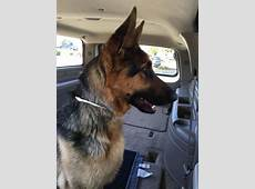 Asia – another German Shepherd rescued from a kill shelter