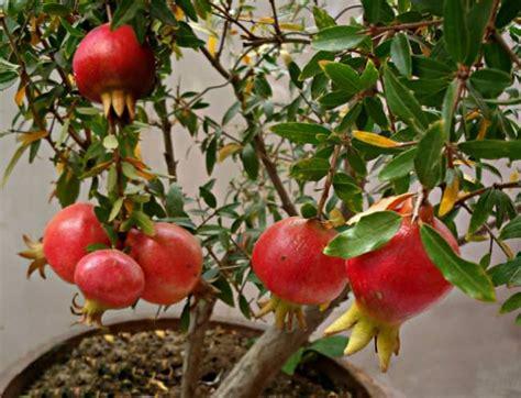 grow pomegranate tree  pot growing pomegranates