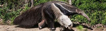Giant Anteater   Animals Wiki   Fandom