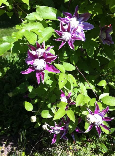 vines flowering gorgeous flowering vine climbing vines pinterest