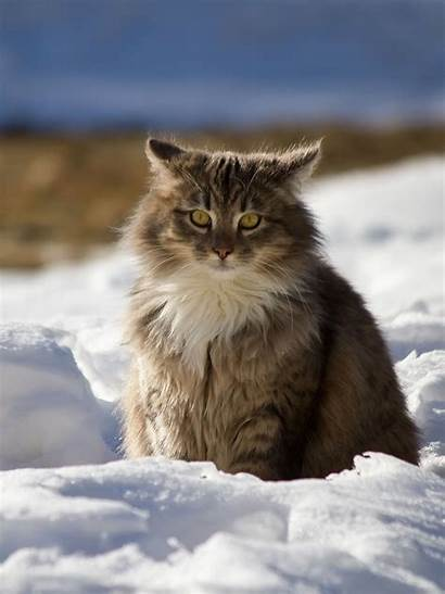 Maine Coon Snow Cat Cats Winter Fluffy