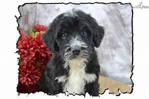 Meet BCBM 4 a cute Shepadoodle puppy for sale for $700 ...
