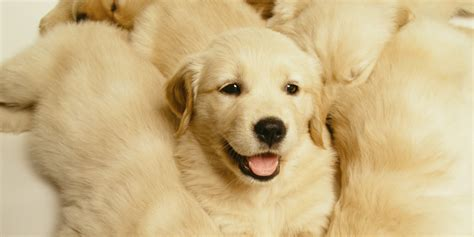Top 8 Adorable Golden Retriever Puppies Who Will Blow Your