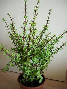 Plantes Grasses Intérieur : les plantes grasses peuvent tre de v ritable petits arbres d 39 int rieur et apporter de la vie ~ Melissatoandfro.com Idées de Décoration