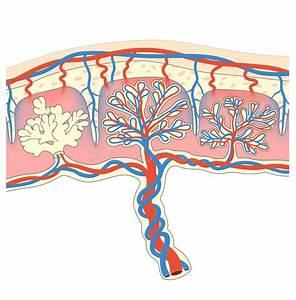 Human Fetus Placenta Anatomy Diagram Stock Vector