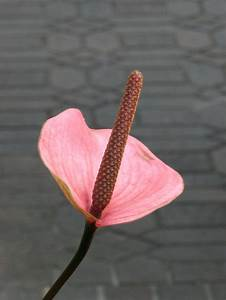 Lillies | Free Stock Photo | Closeup of a pink Peace Lily ...