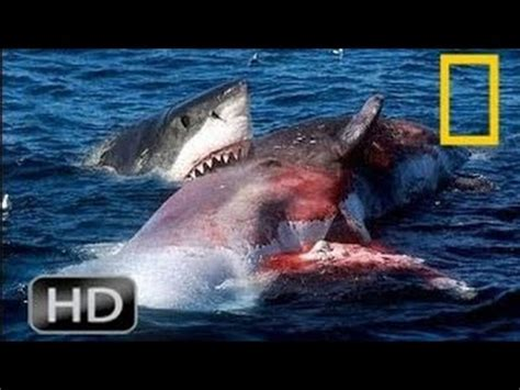 national geographic wild great white shark  orca kills