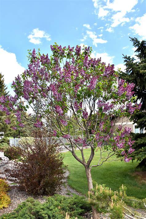 sensation lilac syringa vulgaris sensation  inver