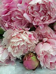 Peonies Cut-Flowers