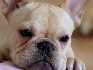 French Bulldog Puppies Wallpapers & Pics | Fun Animals ...