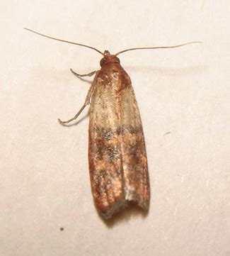 Moths In Kitchen Cupboards by Warning Food Cupboard Moths Page 2 Forum
