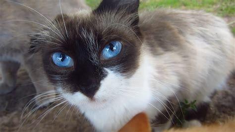 cute cat  blue eyes   street youtube