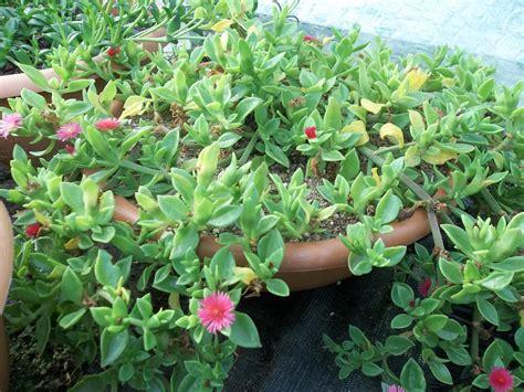 Nikko Native Shrubs For Shade Carolyn S Gardens Dscn