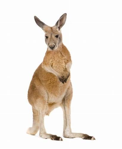Kangaroo Facts Kangaroos Feet Animal Ground Kidspressmagazine