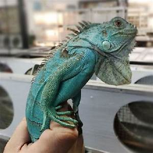 Blue Iguana Facts and Pictures | Reptile Fact