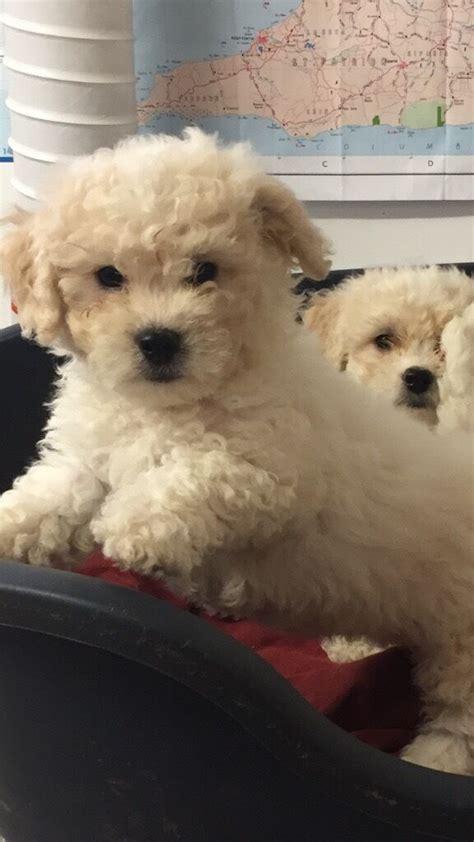 bichon frise puppies  sale  perth perth