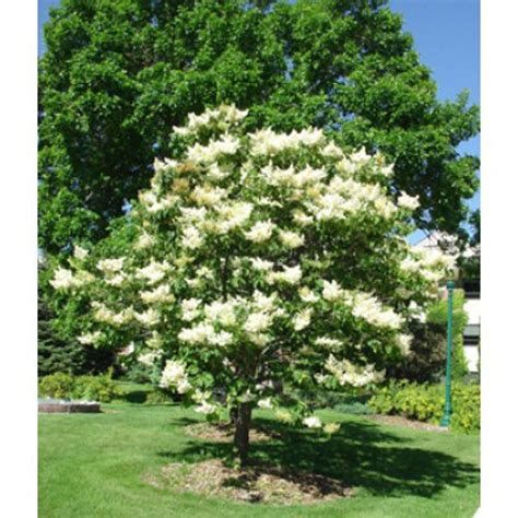 Lilac Tree by 5 Japanese Lilac Tree Seeds Syringa Amurensis Japonica