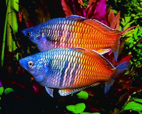 tropical fish keeping popular freshwater tropical fish