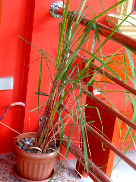 mosquito repellent plants in the philippines citronella plants protect our home in the philippines from mosquitoes philippines plus