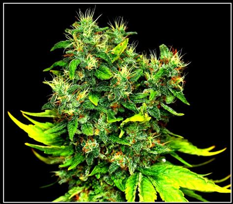 Pangea (Lifetime Seeds) :: Cannabis Strain Info