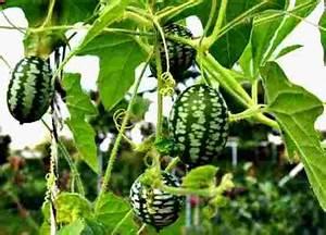 Mini Gurken Pflanzen : greenmansworld mexikanische mini gurke melothria ~ Buech-reservation.com Haus und Dekorationen