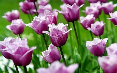 Tulip Image Desktop by Wallpapers Purple Tulips Flowers Wallpapers
