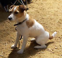 Le Chien Russel by Jack Russell Terrier The Dogs Breeds