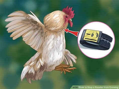 how do you cook capon chicken 3 ways to stop a rooster from crowing wikihow