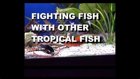 betta fighting fish   community tank