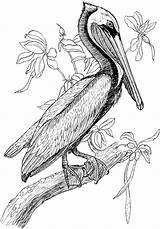 Pelican Coloring Pages Wildlife Animals Embroidery Colouring Sketches Pyrography Patterns Idea Perch sketch template