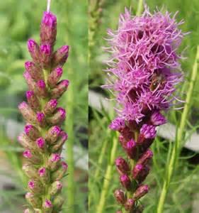 Liatris Spicata Blazing Star Flowers