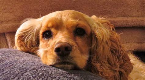 ear mites  dogs  symptoms  treatment options