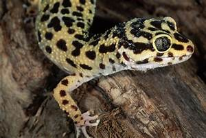 Geckos as Pets - Care Guide and Introduction