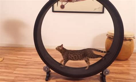 cat hamster wheel one fast cat someone has invented a hamster wheel for