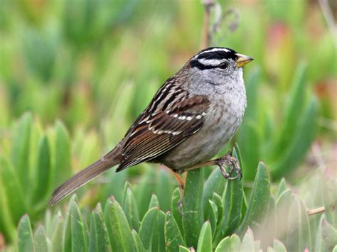file white crowned sparrow hmb rwd2 jpg wikimedia commons