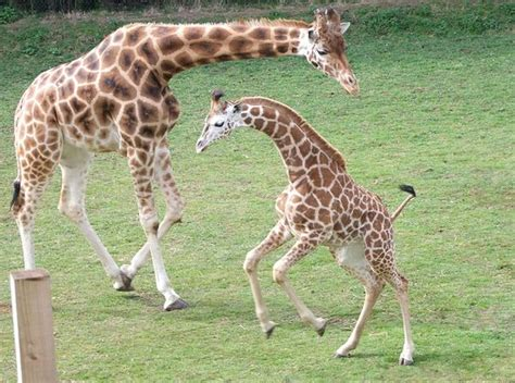 baby giraffes giraffes giraffe giraffe