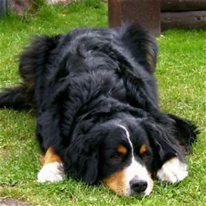 Berner Sennenhund Gewicht : berner sennenhund boris ~ Markanthonyermac.com Haus und Dekorationen