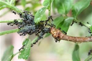 Comment Se Débarrasser Des Pucerons : jardin fourmis tout ~ Dallasstarsshop.com Idées de Décoration
