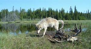 Only Three Wolves Alive in the Isle Royale National Park ...