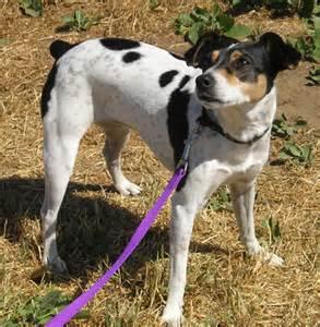 feist dog breed shedding dog breeds picture