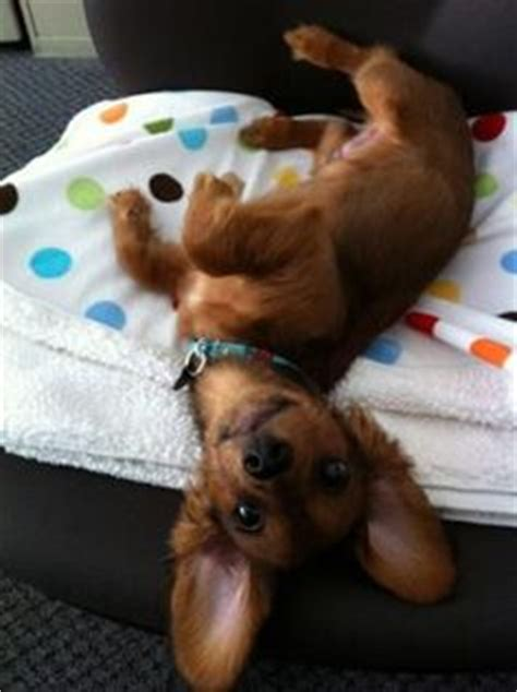 long haired dachshund  pinterest long haired dachshund