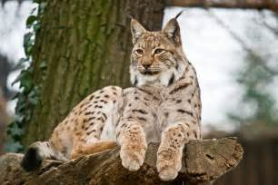lynx cats lynx cat cats world