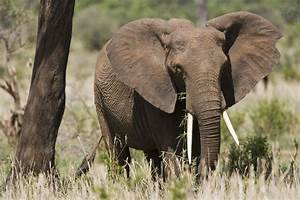 In the Fight Against Elephant Poaching, the U.S. Can Lead ...