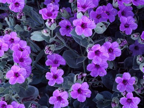 four o clock flower giant four o clock flowers wallpapers hd wallpapers id 5566