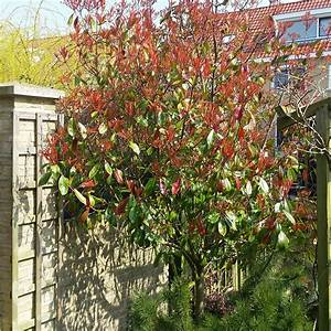 Photinia Fraseri Robusta Compacta : gallery of snoeien van glansmispel red robin photinia fraseri red robin mijntuinorg with ~ Buech-reservation.com Haus und Dekorationen