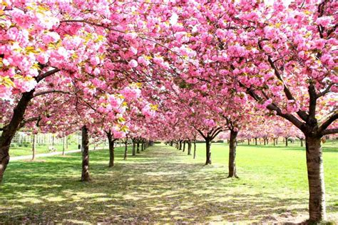 cherry blossom garden access travel and tours inc chasing cherry blossoms access travel and tours inc