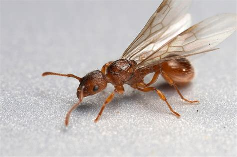 do ants wings winged princess alate virgin queen facts information and photos antark
