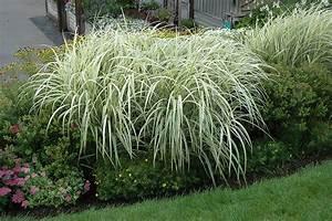 Miscanthus Sinensis Variegatus : variegated silver grass miscanthus sinensis 39 variegatus 39 in burlington waterdown dundas ~ Eleganceandgraceweddings.com Haus und Dekorationen